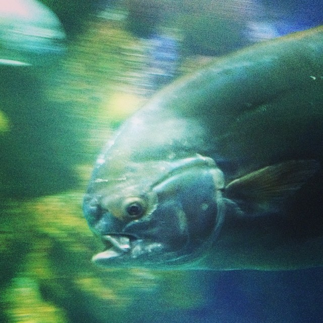 At the New England Aquarium yesterday... Scary fish! #latergram