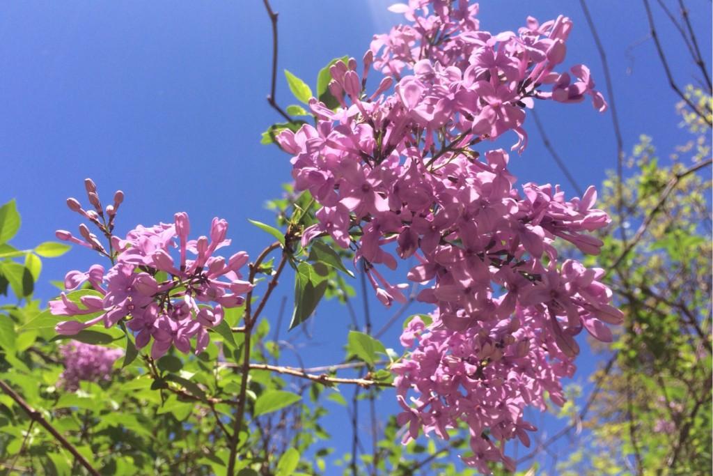 Spring Blossoms 12