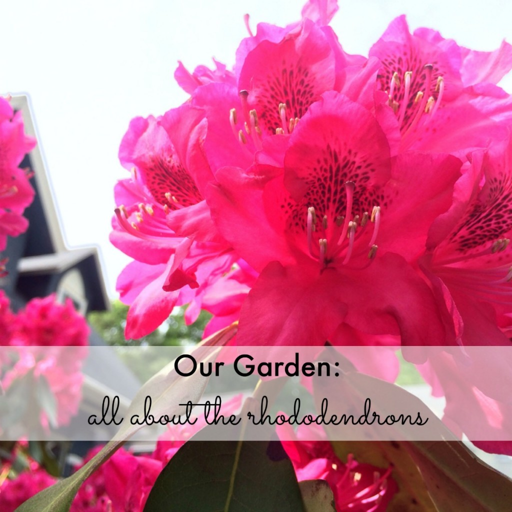 Our Garden: all about the rhododendrons